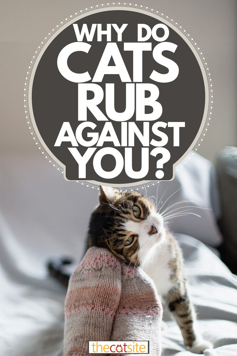 A small cute cat rubbing its face on its owners socks, Why Do Cats Rub Against You?