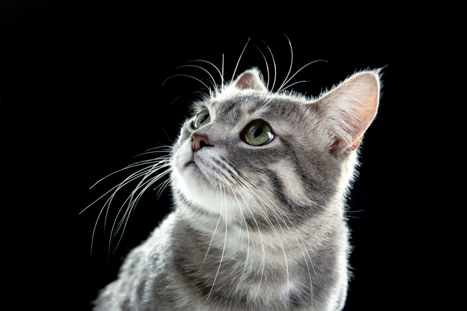 A beautiful British shorthair sitting and staring at something on a dark background