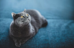 A British short hair cat lying on a blue sofa, Is Baking Soda Safe For Cats?