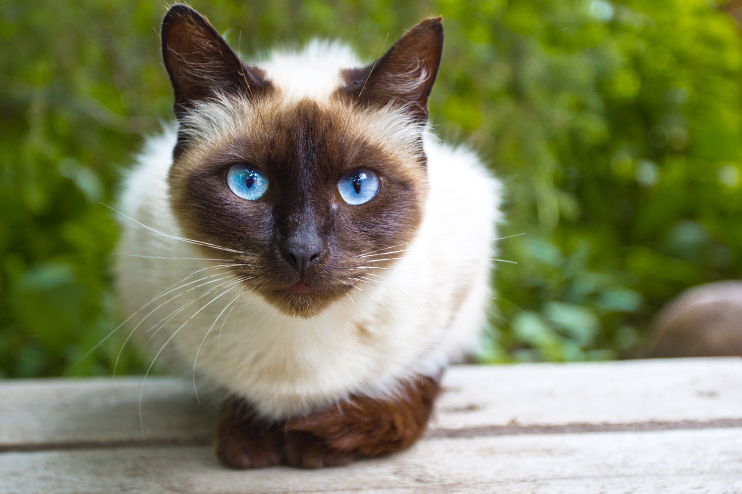 A cute Siamese cat lying on a small bench on the background