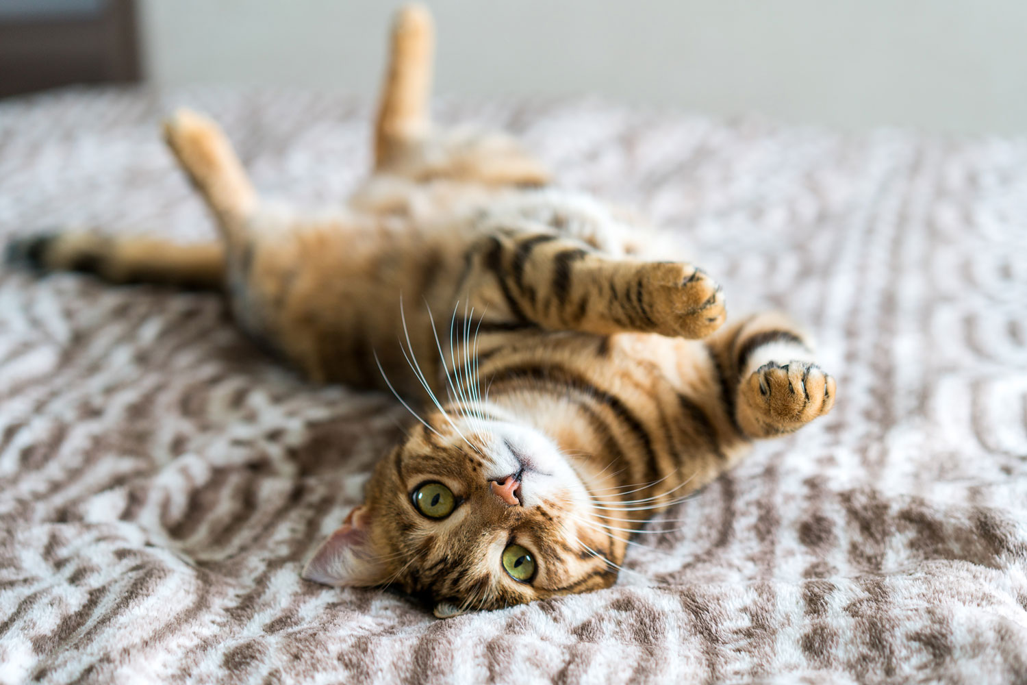 A cute Bengal cat lying upside down on the bed, How Many Whiskers Does A Cat Have? And Why?