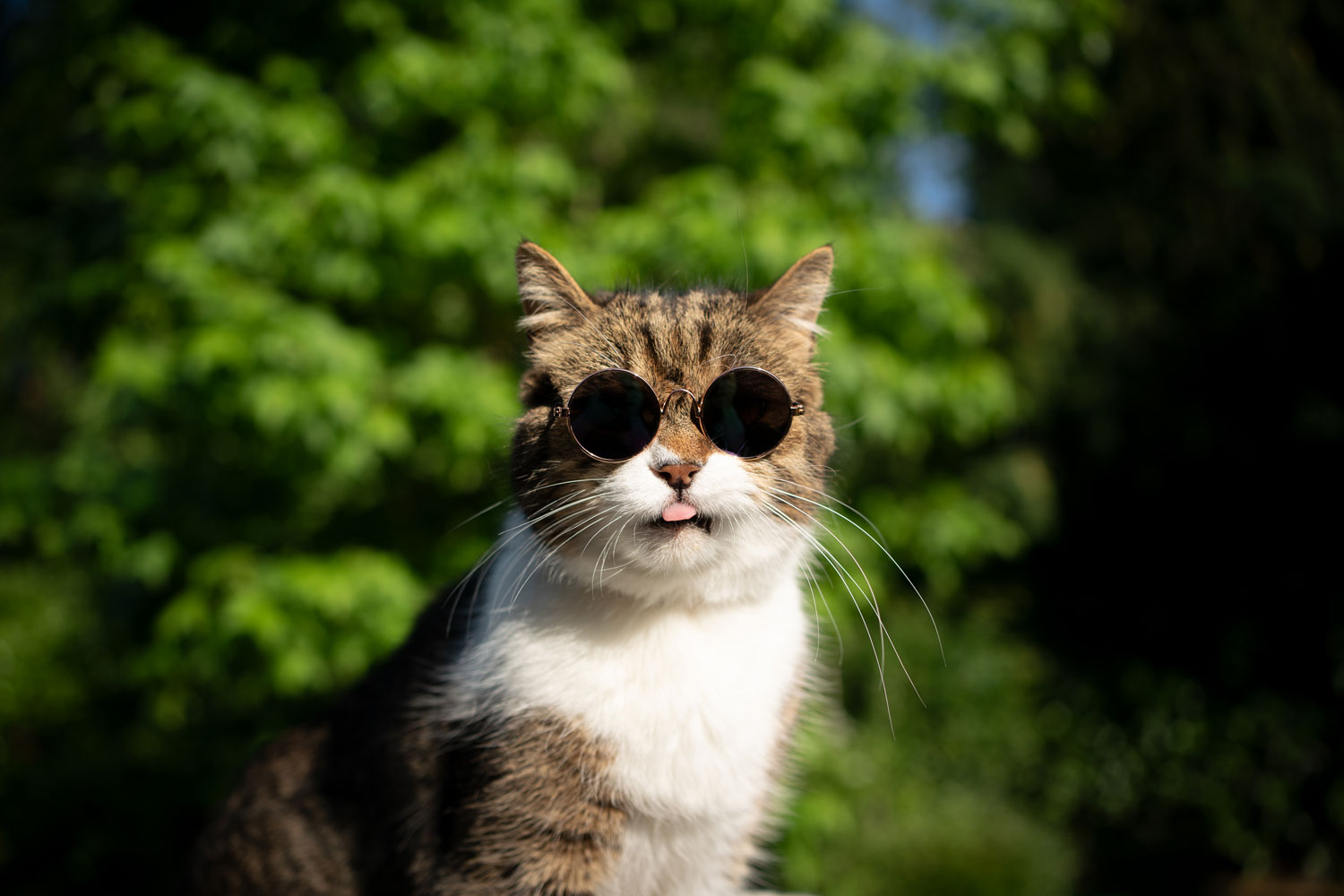 A gorgeous cat wearing round glasses sticking out his tongue