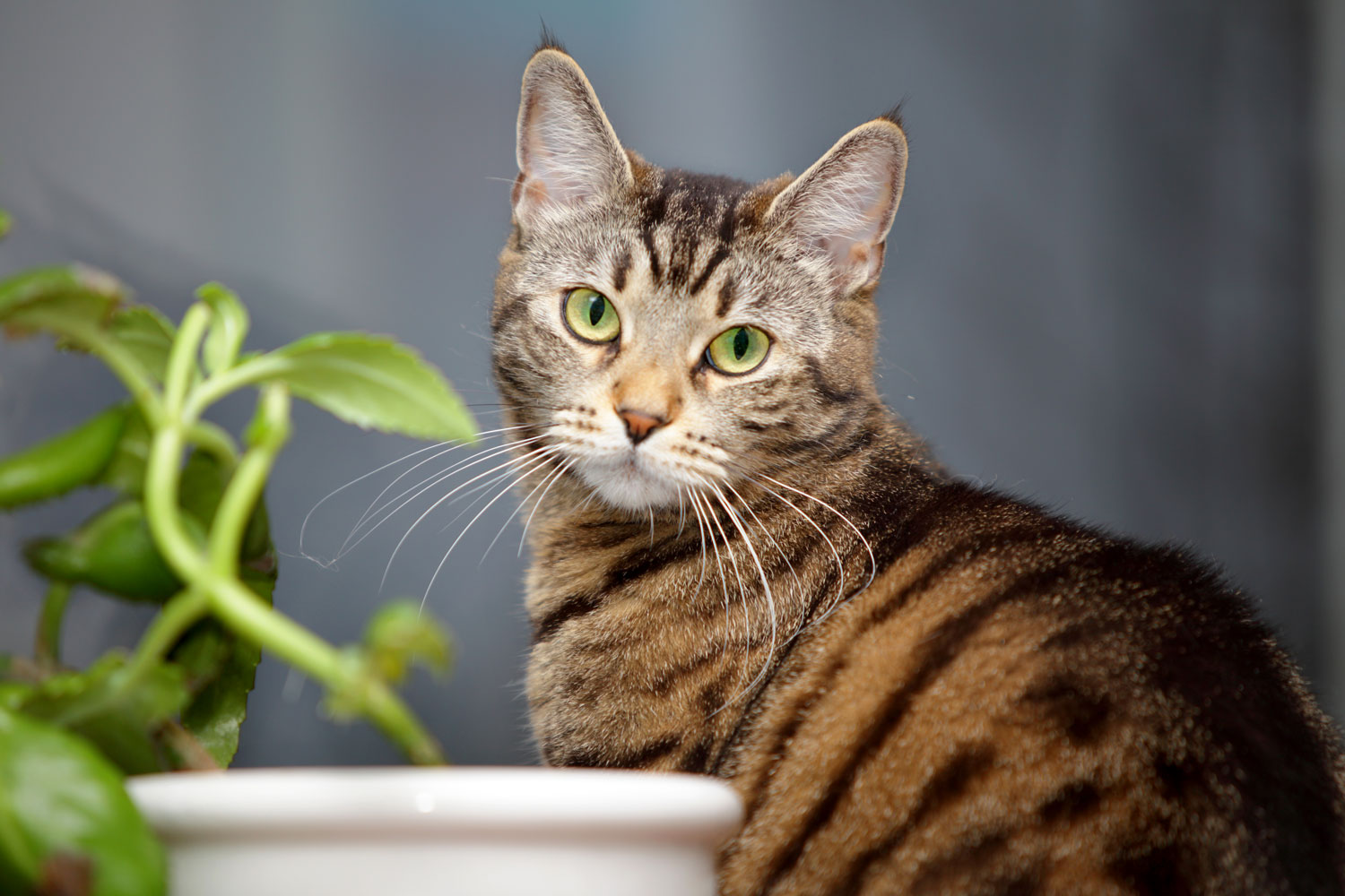 A tabby cat starring at the camera