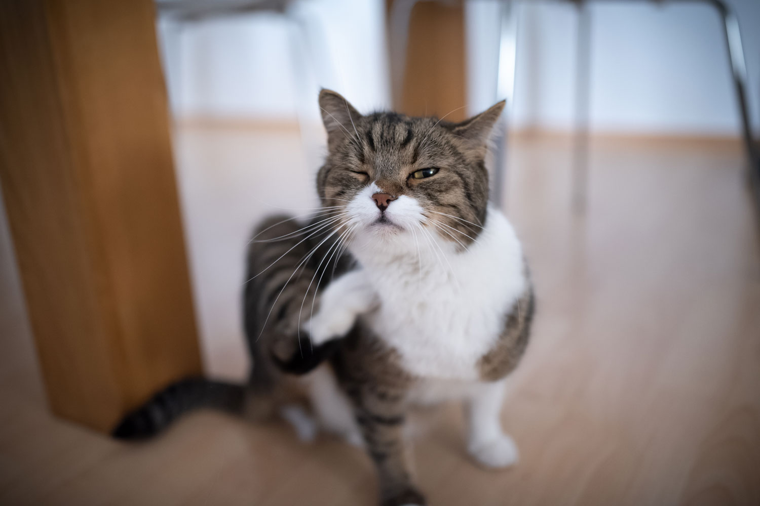A tabby white British shorthair cat scratching his neck