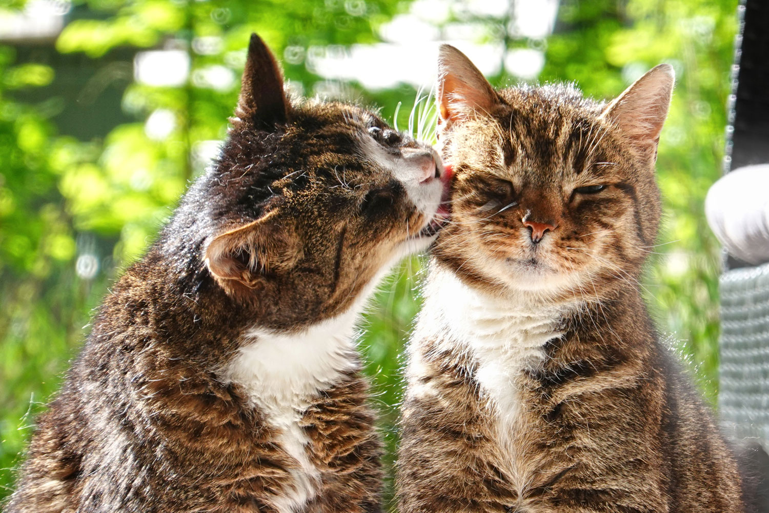 Domestic cats giving each other some love