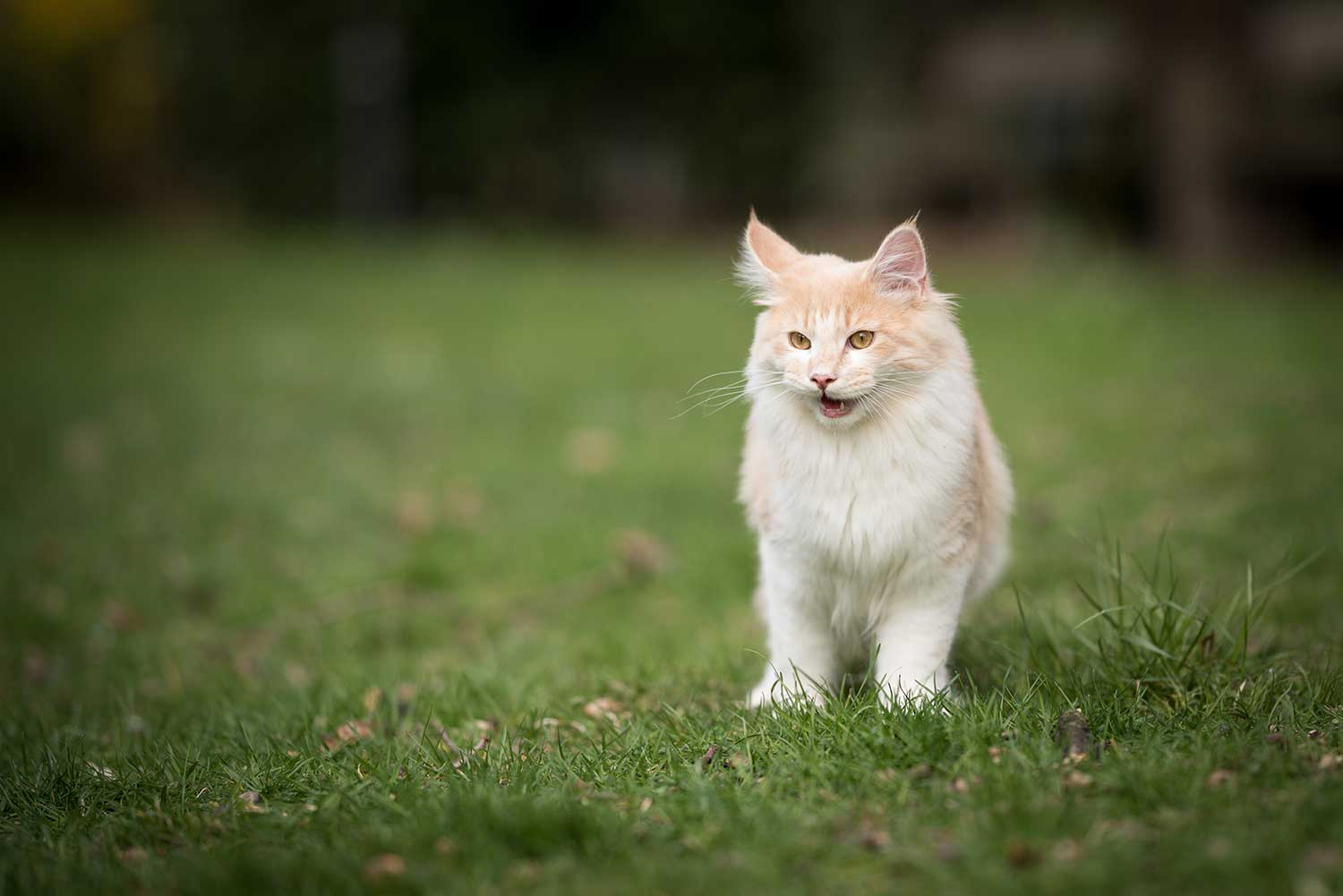 Exhausted cream colored beige white maine coon kitten standing on the lawn with mouth open