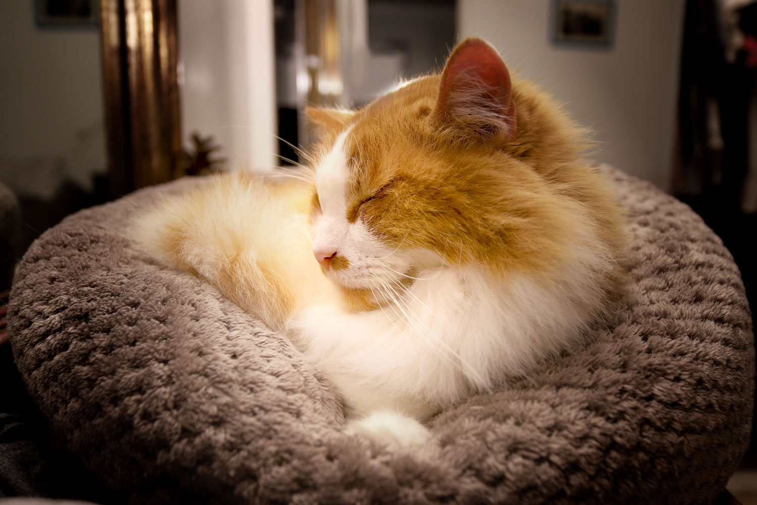 A long haired orange and white car sleeping on his small pouf bed