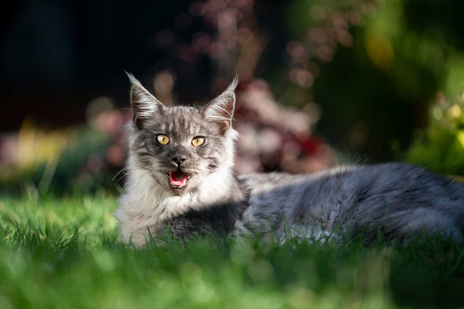 Overheated maine coon cat outdoors in sunlight panting on a hot summer day