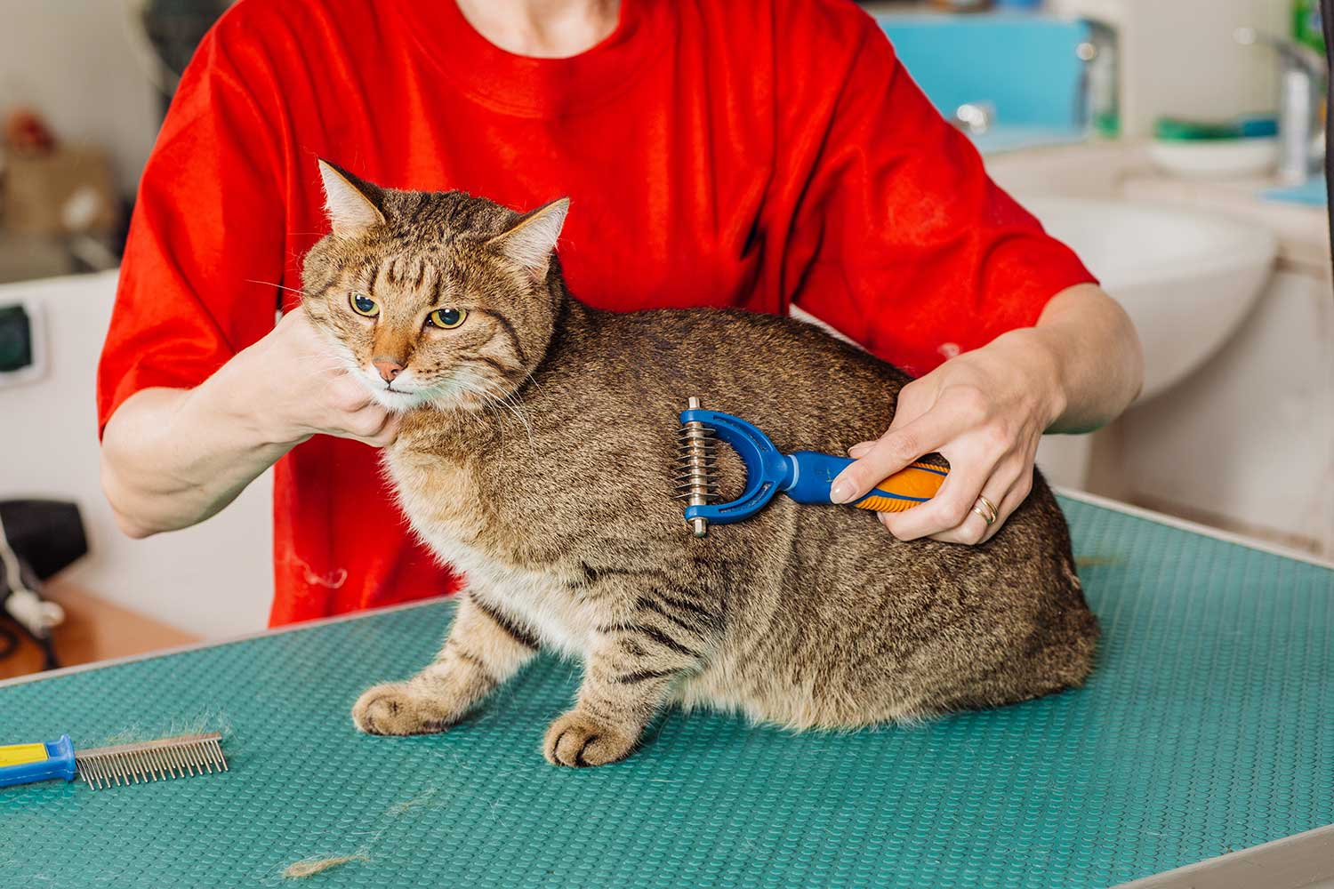 Veterinarian grooming cat with tool for shedding hair