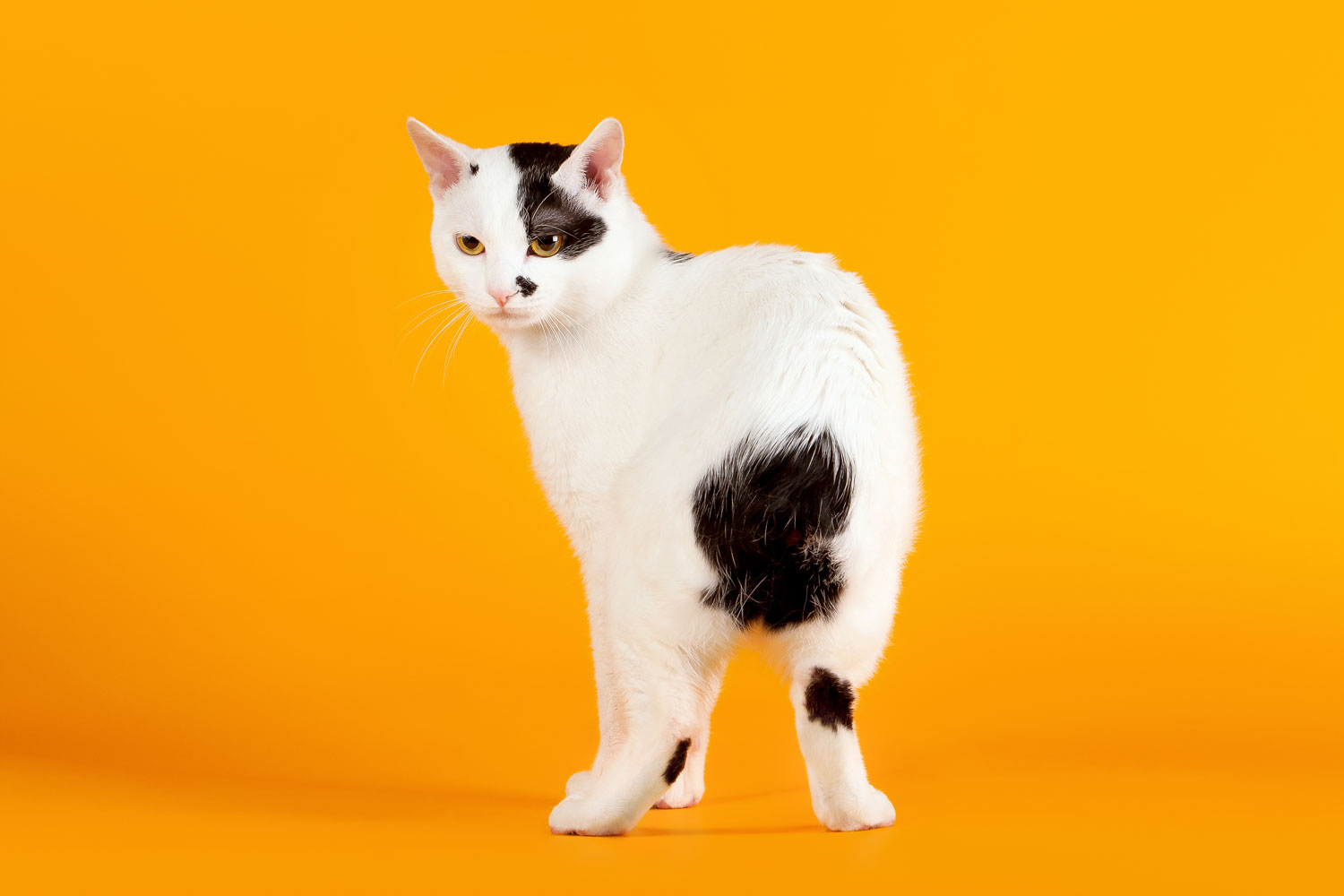 A Fierce white and black colored Japanese bobtail on an orange background