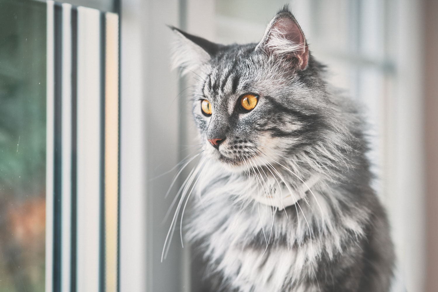 A cute fierce looking maine coon cat looking outside the window, Orange Cat Eyes: What Breed Could It Be?