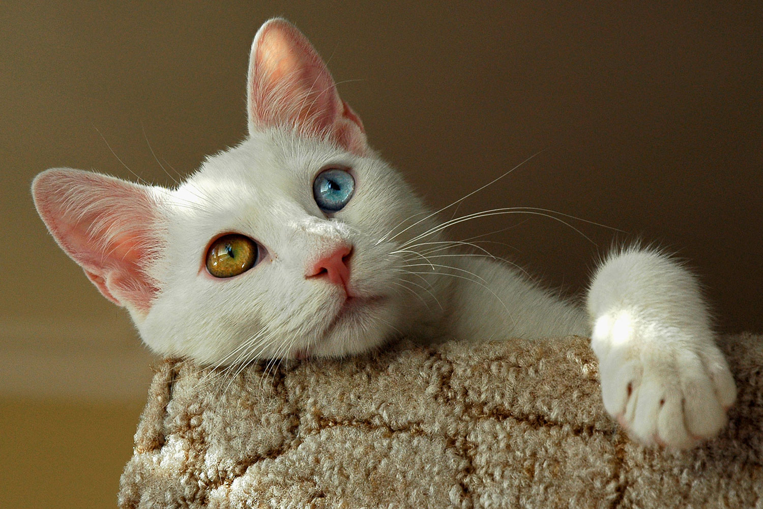 A white Turkish van cat with orange and blue eyes lying on the couch
