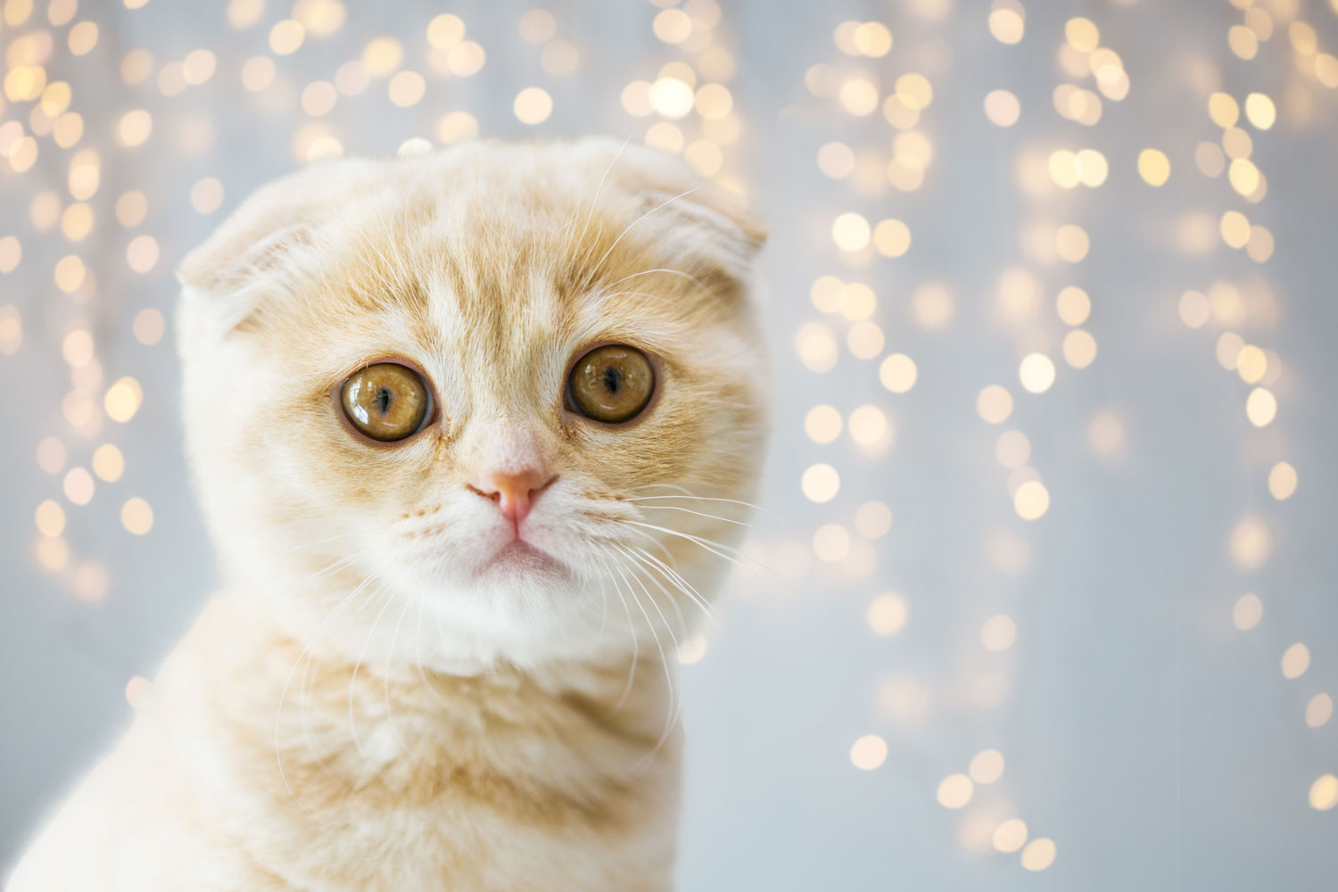 An up close photo of a Scottish Fold cat starring at the camera