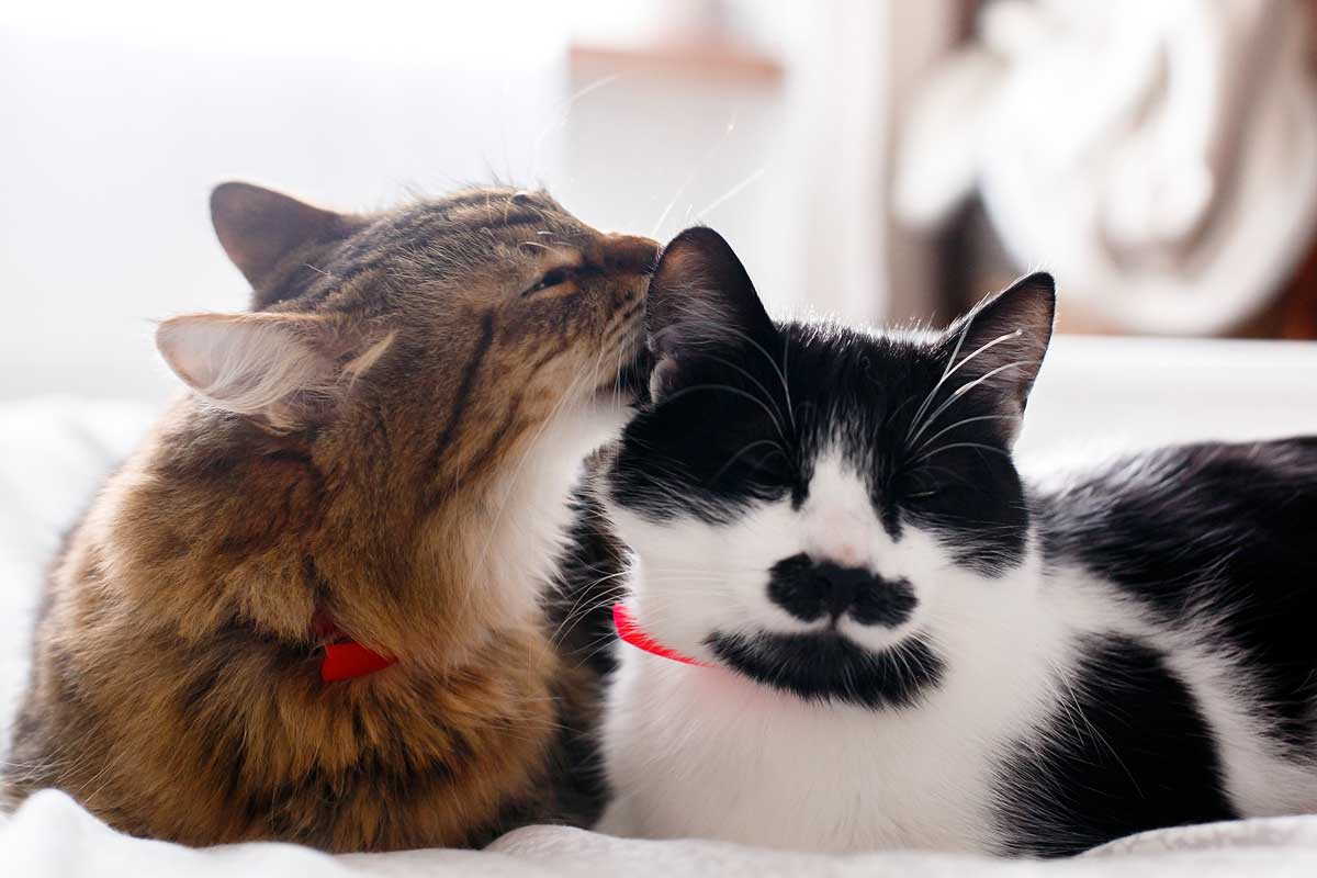 Two cute cats grooming on white bed in sunny room, How To Tell If Cats Are Bonded [A Complete Guide]