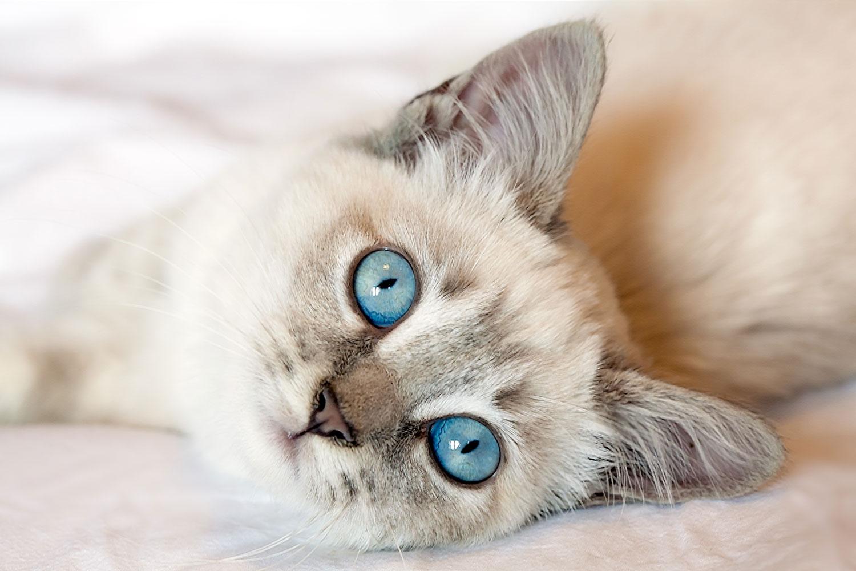 A beautiful blue eyed kitten lying in bed