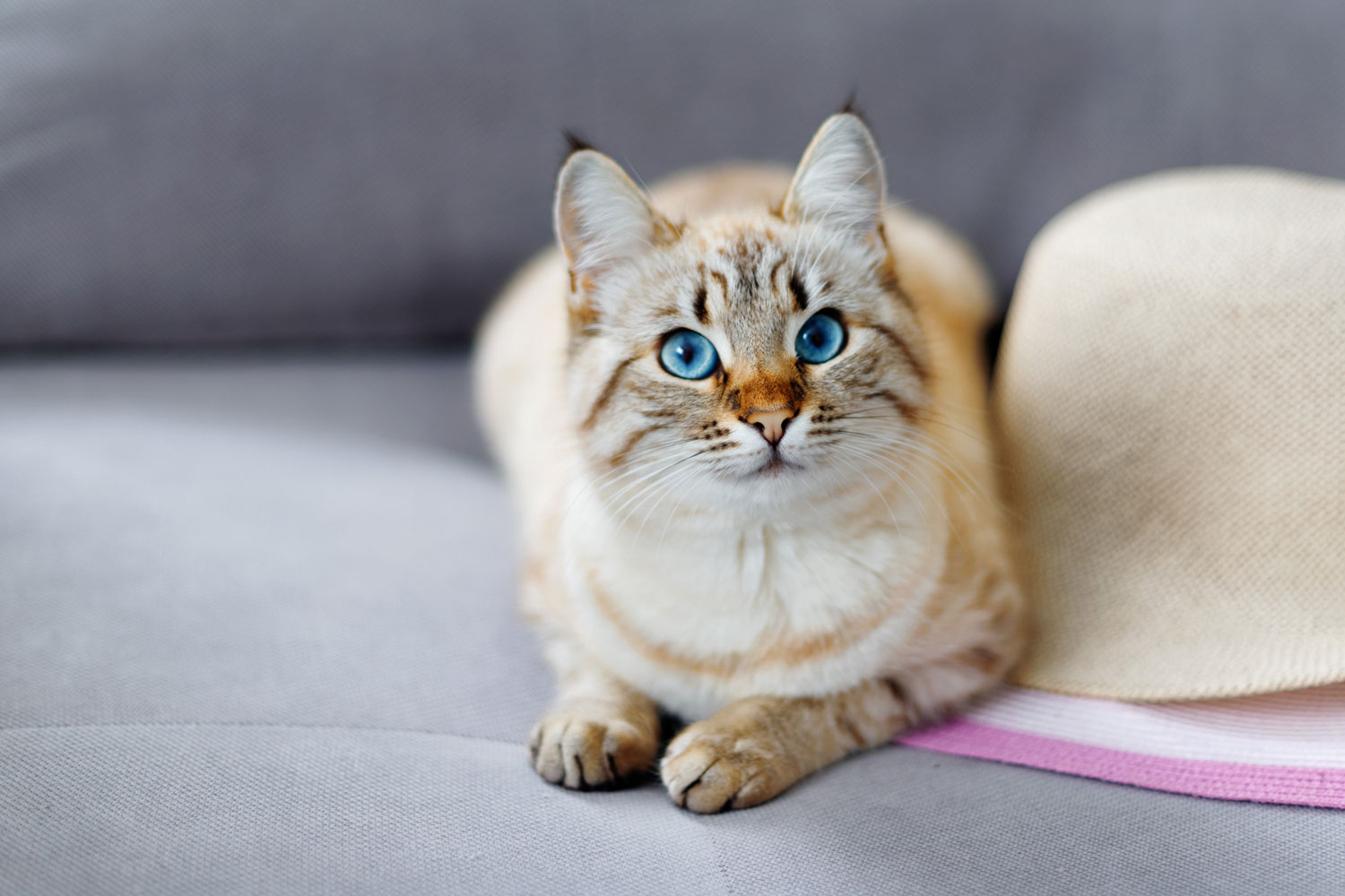 A beautiful red lynx Siamese cat sleeping on the couch, Lynx Point Siamese Cat Facts And Fun