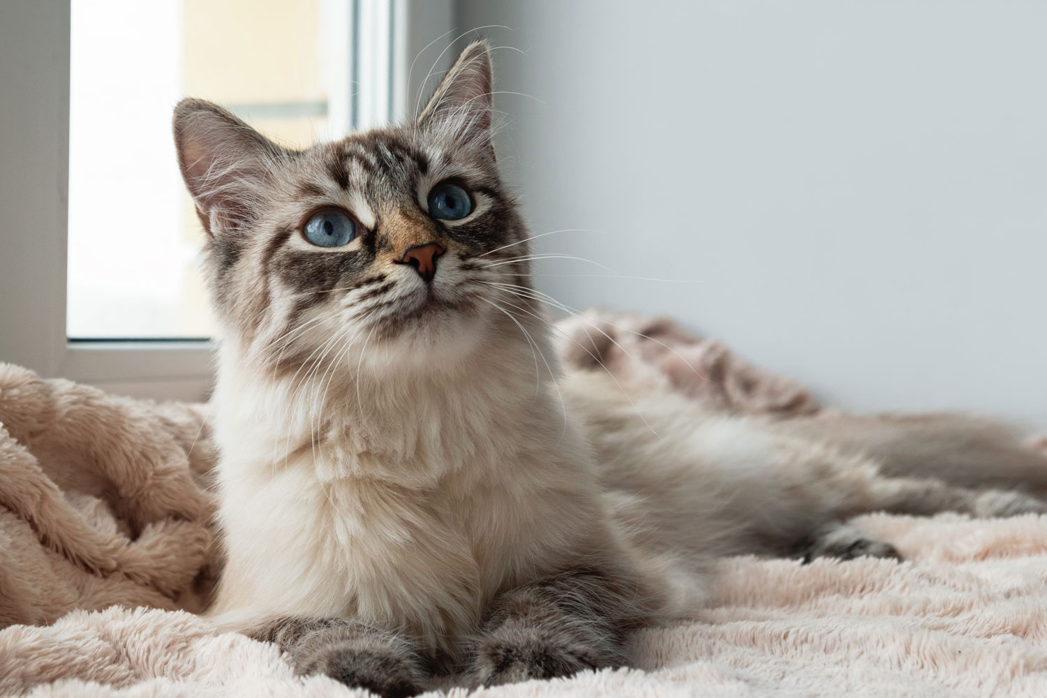A beautiful Seal lynx point cat lying in bed and starring at something, Lynx Point Siamese Cat Facts And Fun
