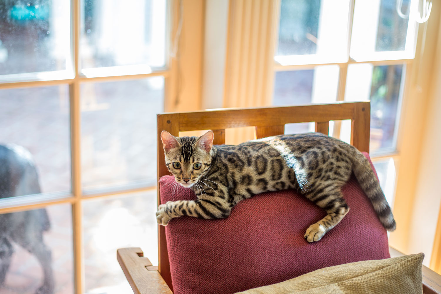 A Bengal cat playing and running around the living room