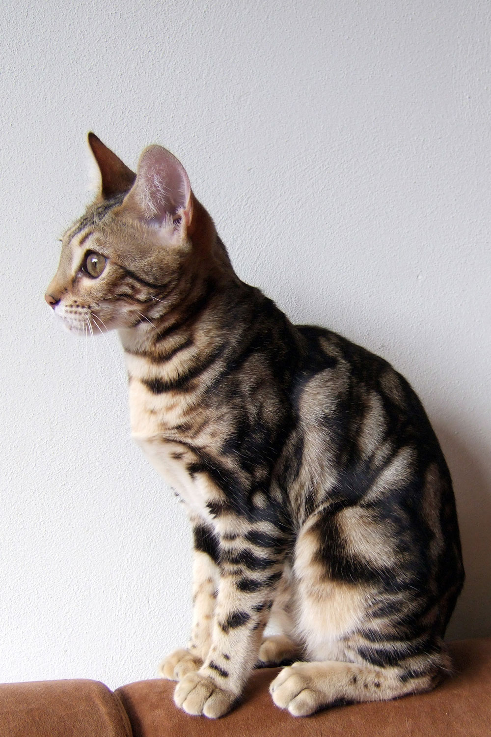 A Bengal kitten sitting on the kitchen table