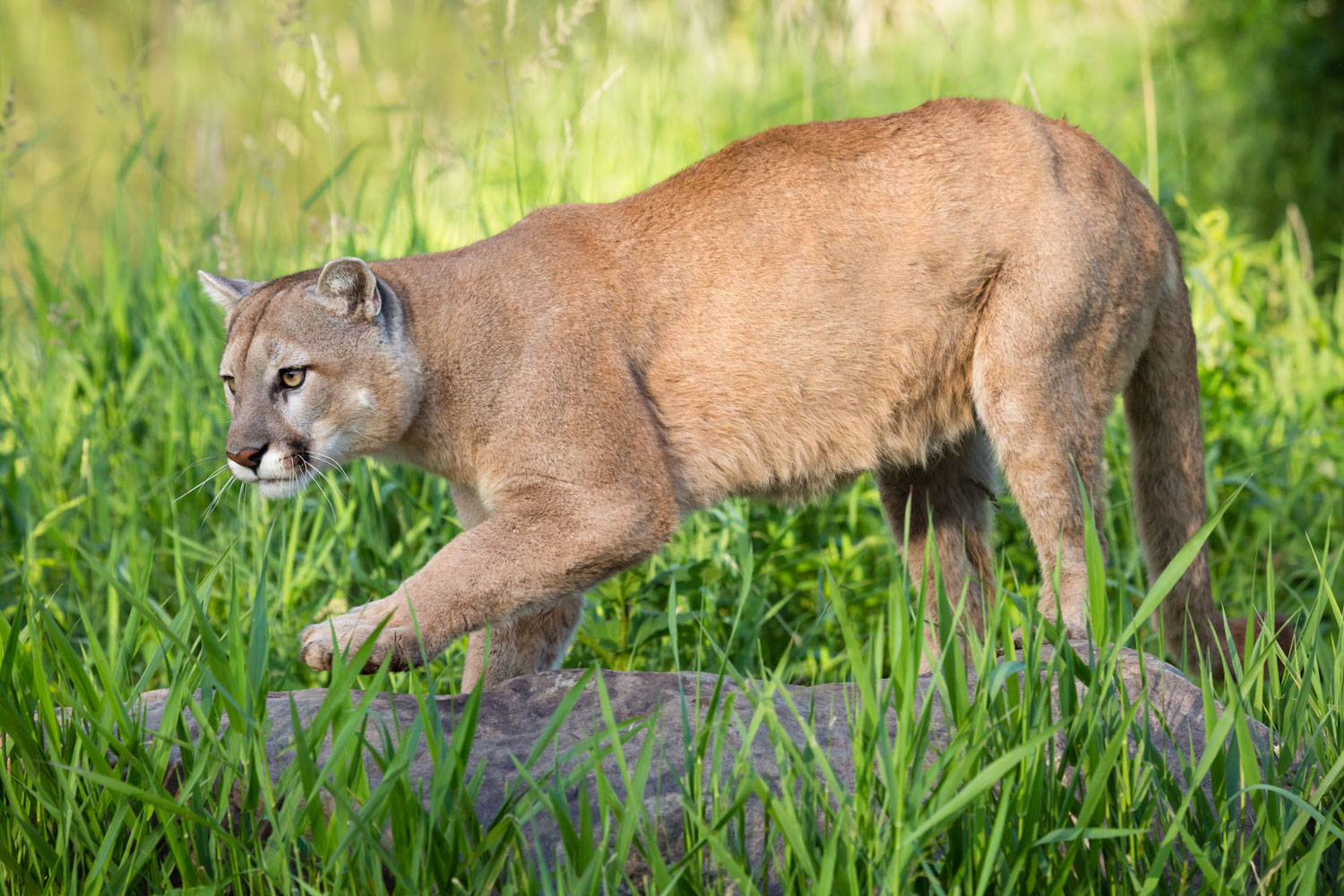A big and strong mountain lion stalking his prey