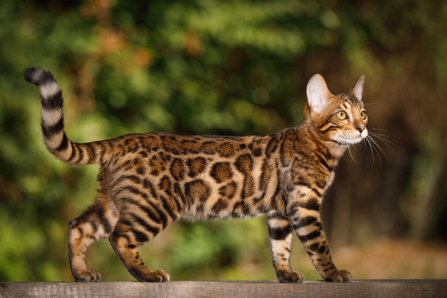 A big Bengal cat hunting outdoors for rats or others