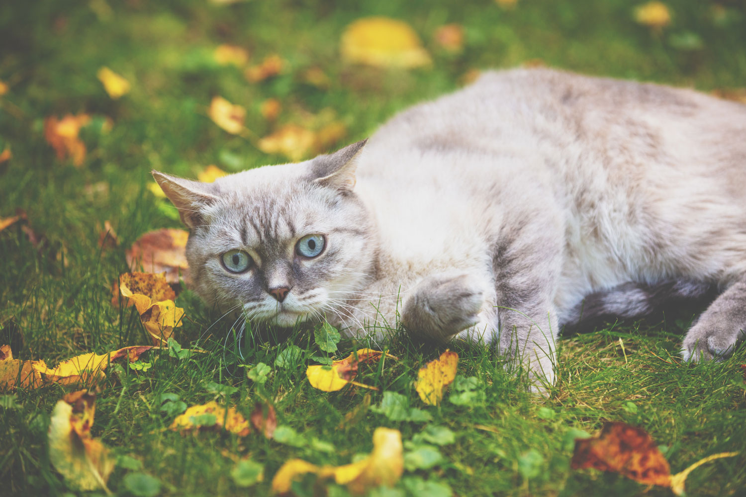 A blue lynx point Siamese cat lying on the grass