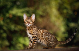 A cute Bengal cat sitting outside the fence of his owners house, Is My Cat A Bengal Or A Bengal Mix?