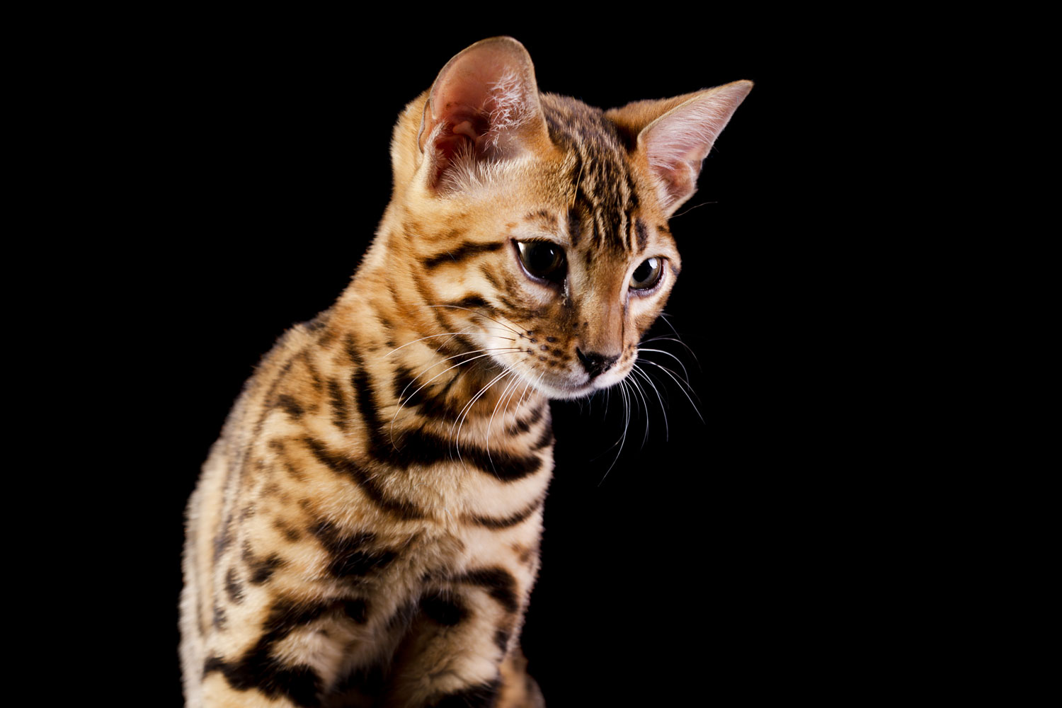 A cute Bengal kitten on a white background