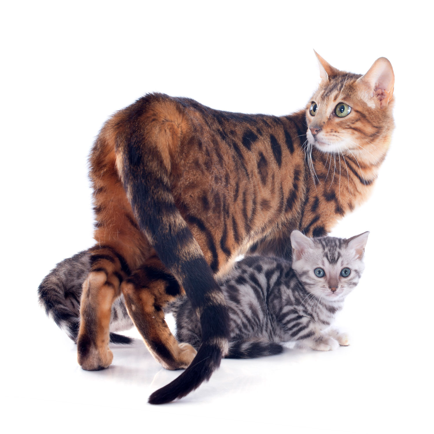 A big mother cat Bengal cat with her kittens underneath on a white background