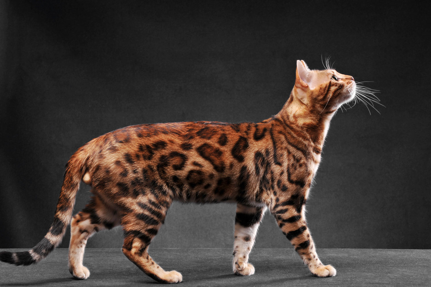 A huge Bengal cat photographed on a dark gray background