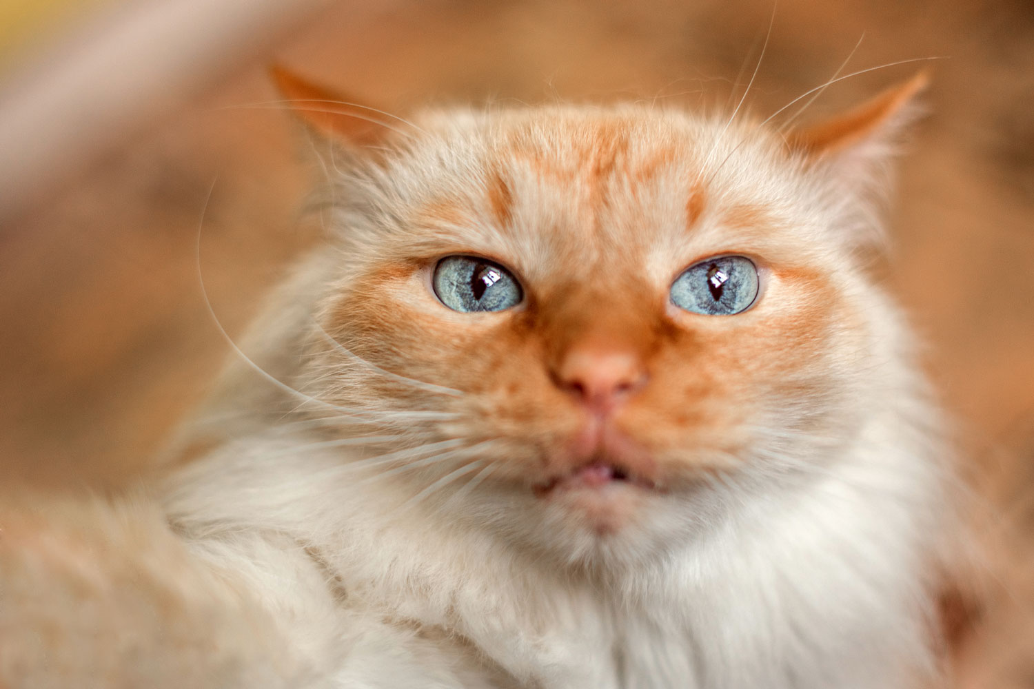 A red lynx point with blue eyes staring and holding a camera