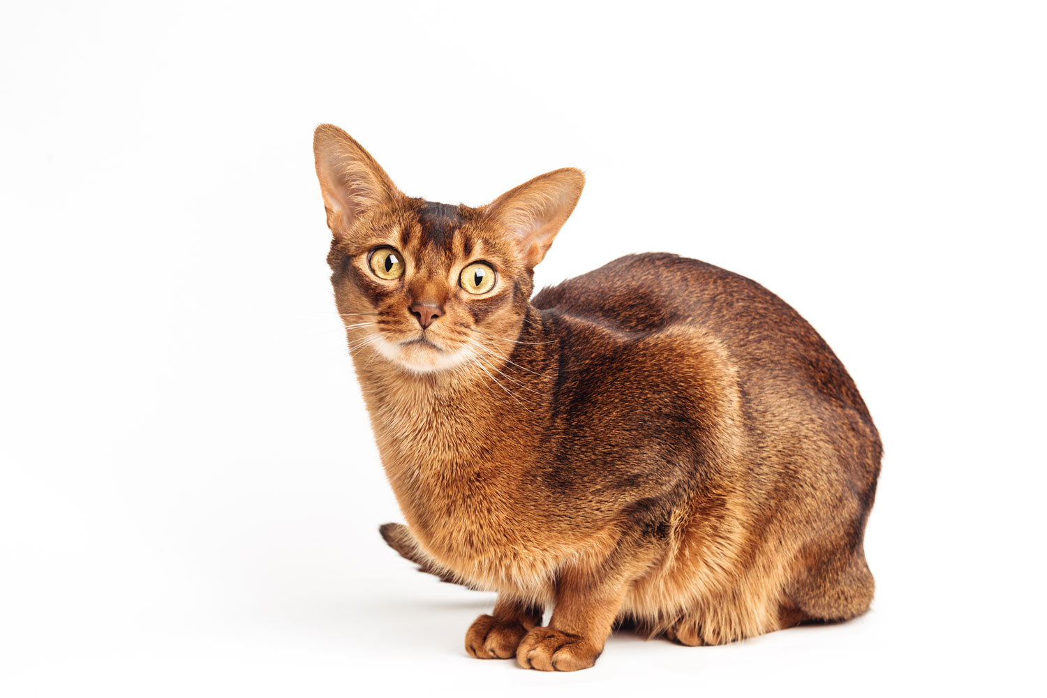 An Abyssiniian cat sitting on a white background