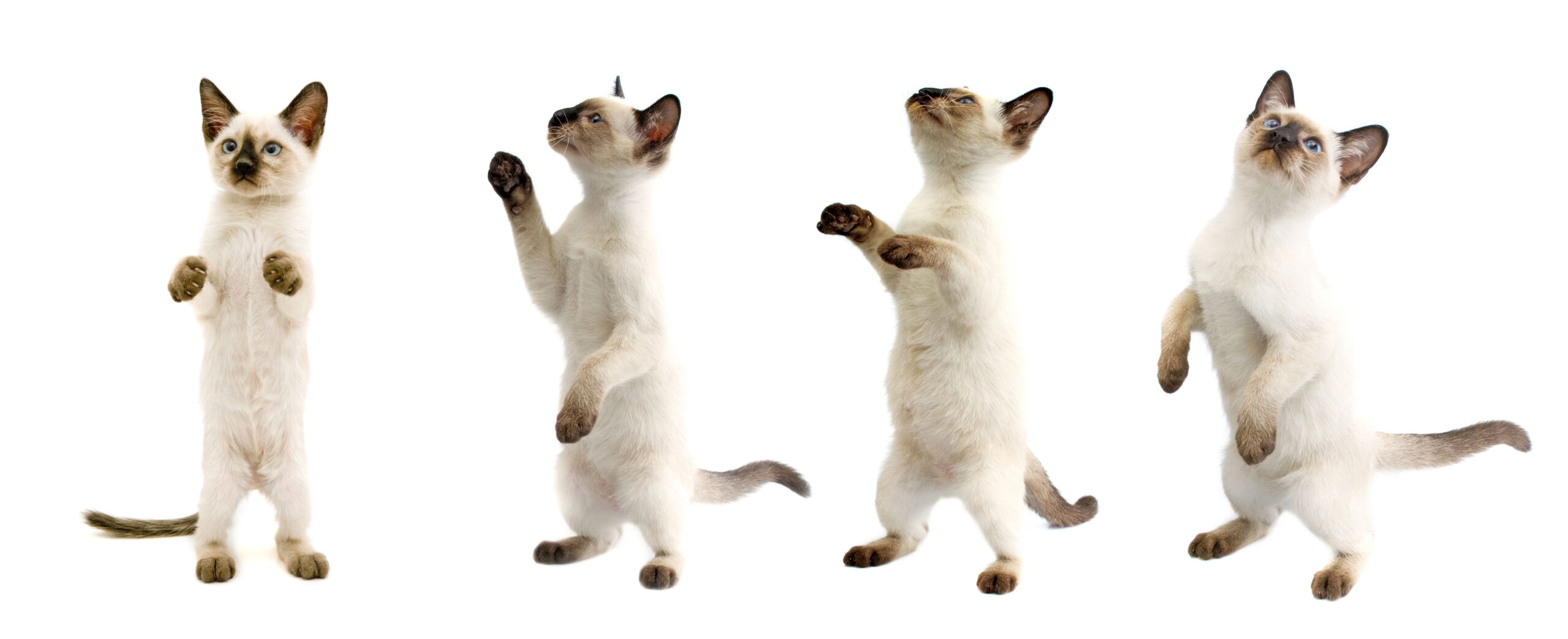 Four cute Siamese cat dancing on a white background