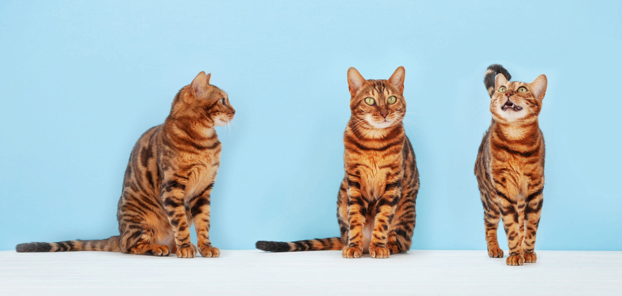 Three Bengal cats photographed on different angles on a light blue background