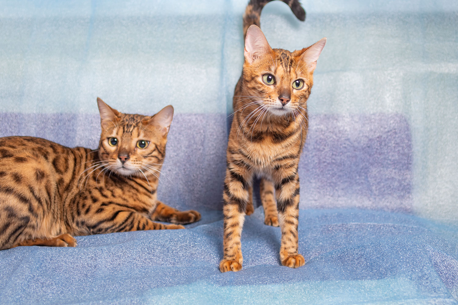 Two Bengal cat lying and standing on the sofa