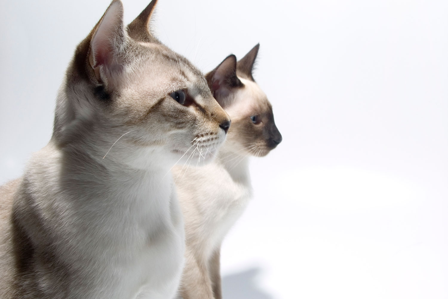 Tw Siamese cats staring at something on a white background
