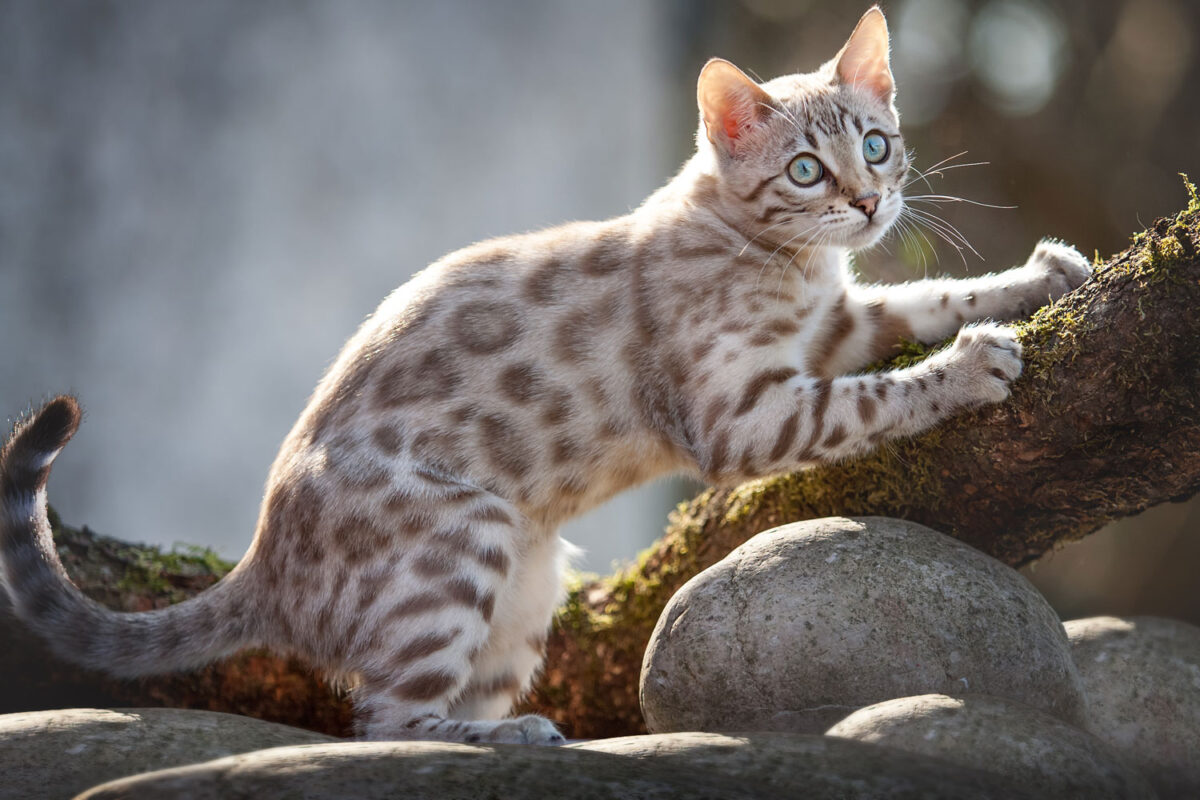 A mink bengal cat sharpening his claws onto a branch of a tree