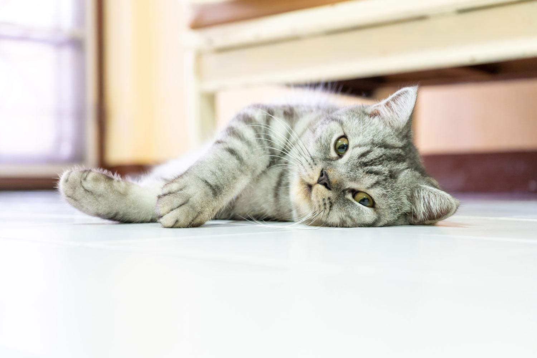 An American shorthair sleeping on the floor