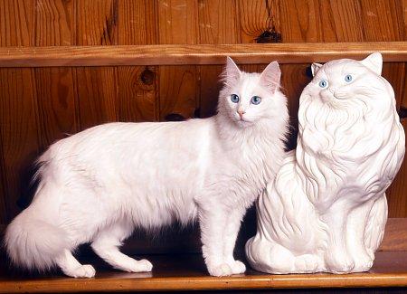082c301311 Turkish Angora Cats