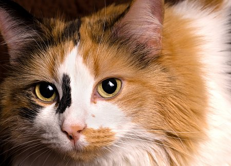 Cat Coat Colors And Patterns TheCatSite Fascinating Cat Fur Patterns