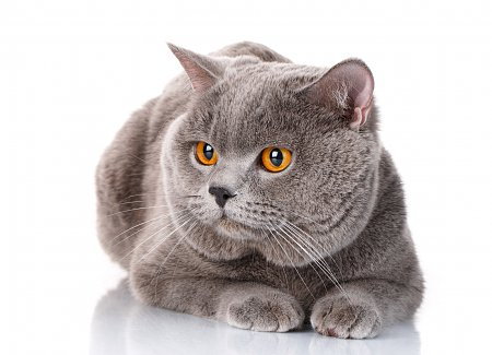 British shorthair cats for rescue