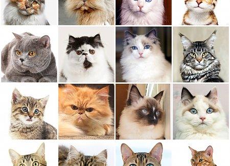 rhomboideus capitis cat