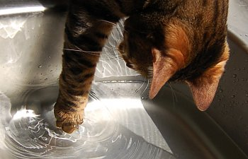 Why Do Cats Paw At The Water Dish?