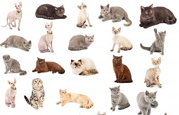 Quiz: If You Were A Purebred Cat Which Breed Would You Be?
