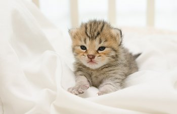 Kitten Development Stages - Illustrated Guide