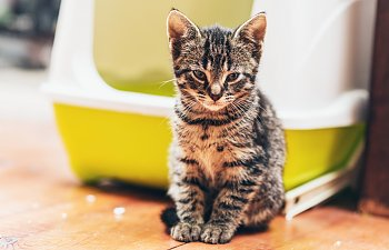 Feline Idiopathic Cystitis - How To Improve Your Cat's Quality Of Life