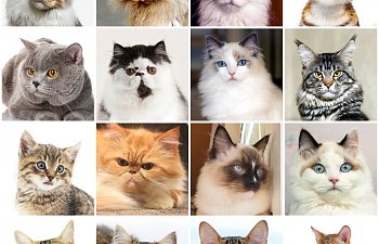 Quiz: Can You Identify This Cat Breed?