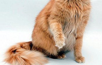 Declawing - Post-surgery Care And Complications
