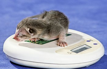 Weighing Newborn Kittens (and How This Could Save Their Lives)