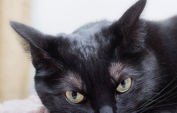 Black Cat Facts And Myths